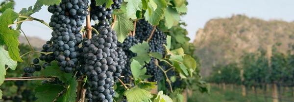 vineyard GranMonte