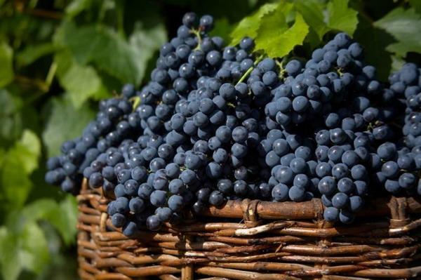 Primitivo Grape for Italy Wine