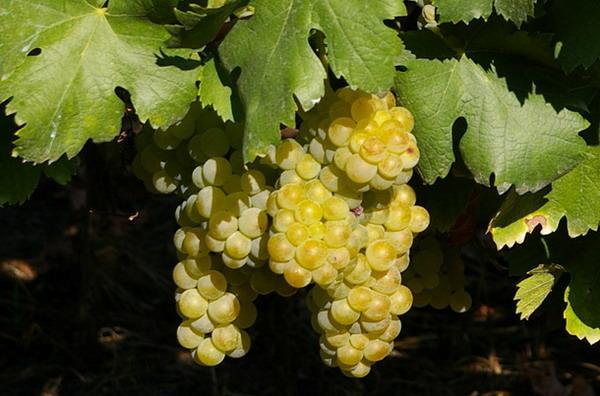 moscato-asti-grape-bunch