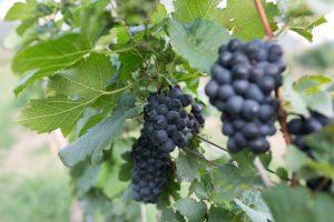 23_องุ่นไวน์จากไร่องุ่นกราน-มอนเต้_resize